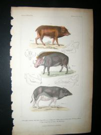 Cuvier C1835 Antique Hand Col Print. White Lipped Peccary, Wild Hog, 50